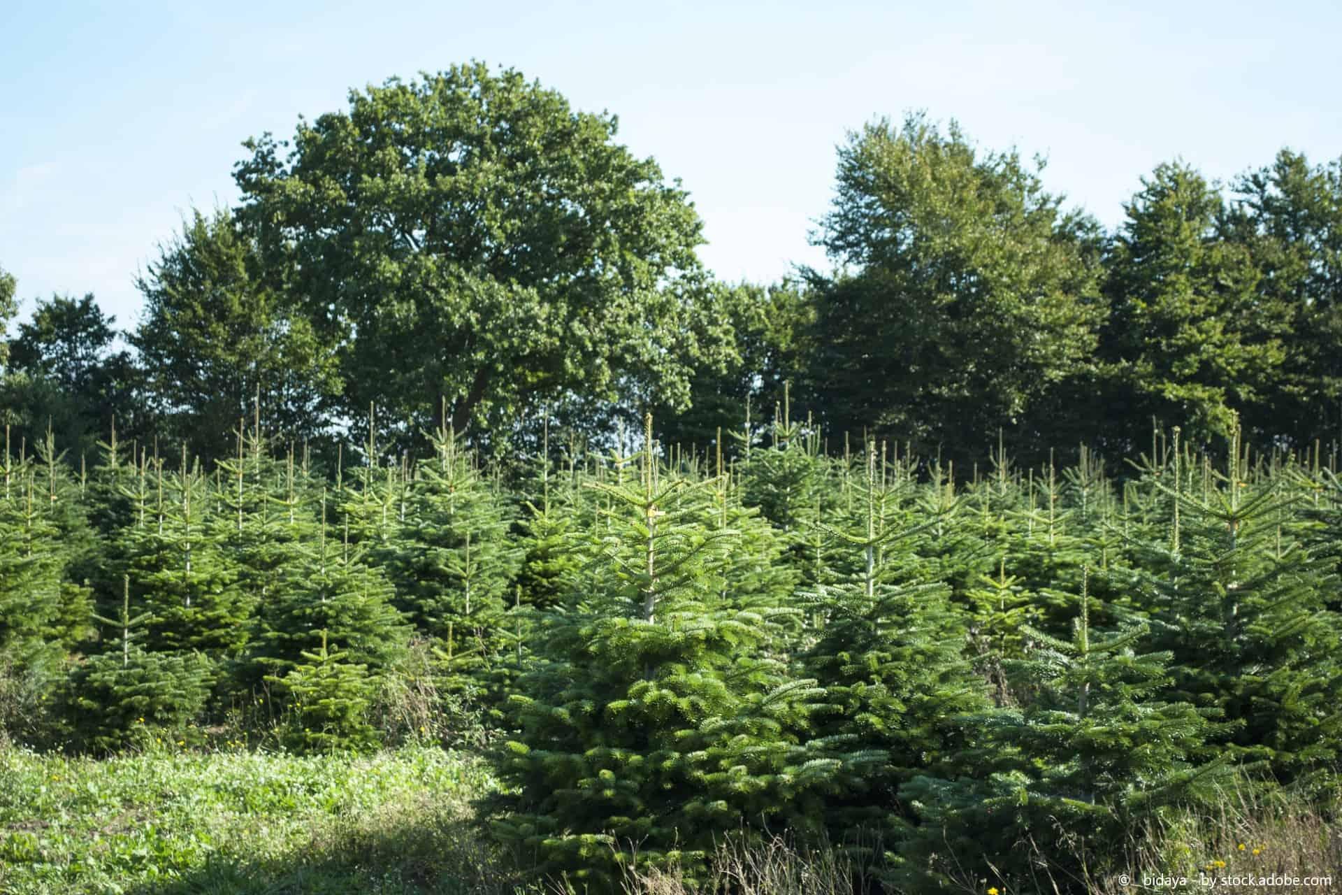 Dieses Jahr wird der Tannenbaum selbst geschlagen!
